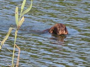 Deutsch-kurzhaar - zwemmen kunnen jachthonden heel goed